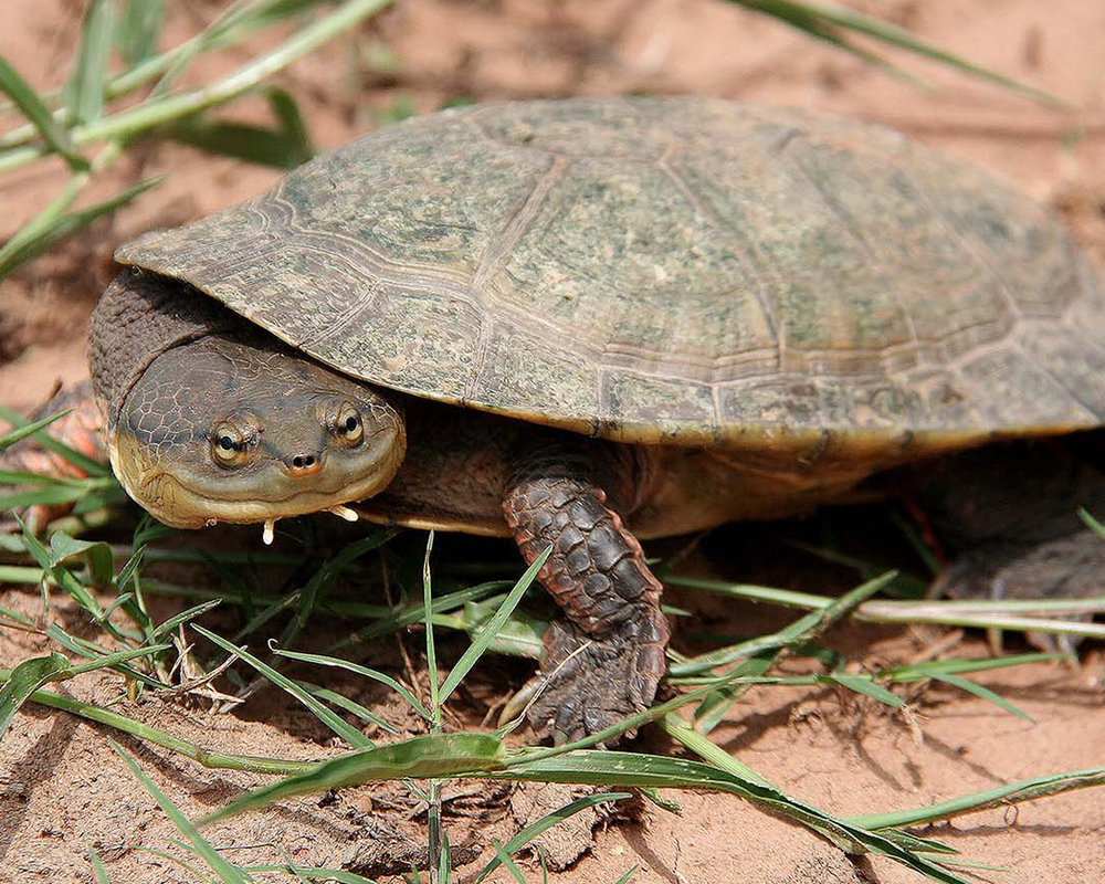 10 Dahl's Toad-headed Turtle.jpg