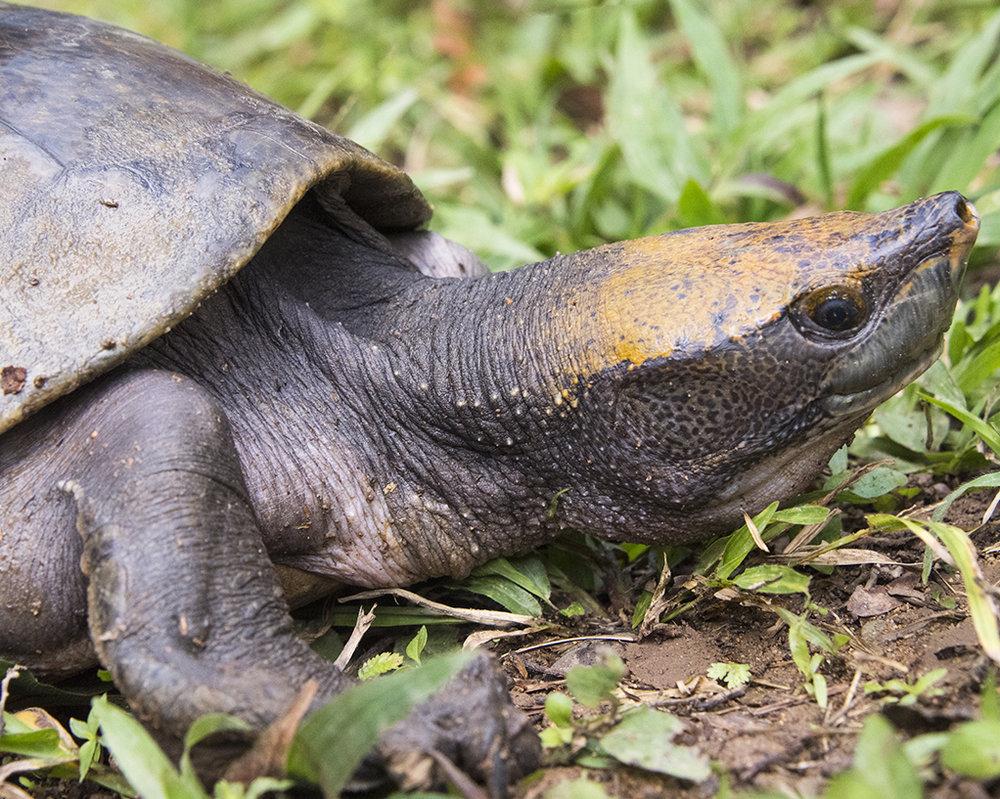 18 Central American River Turtle.jpg