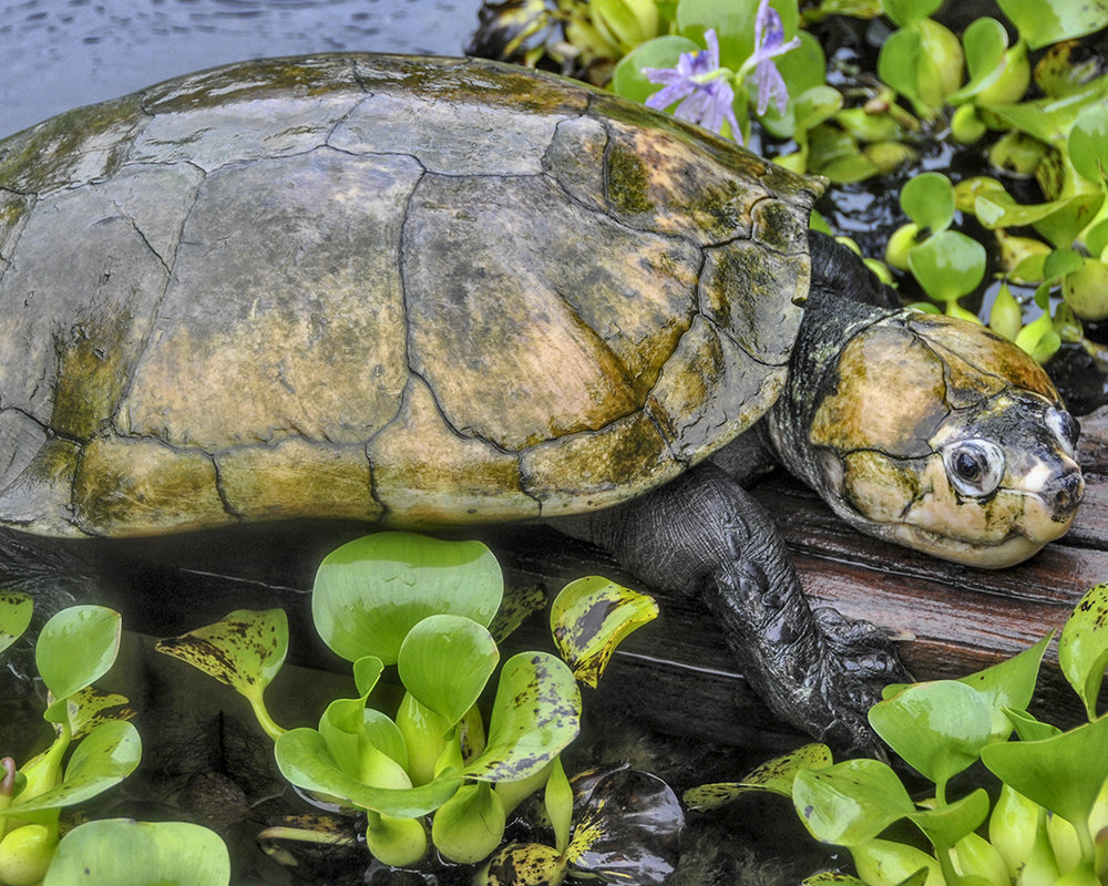 19 Madagascar Big-headed Turtle.jpg