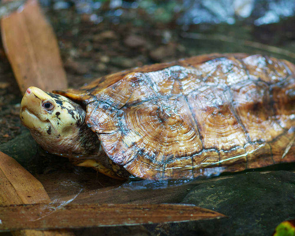 Releasing an adult male Sulawesi Forest Turtle (Leucocephalon yuwonoi)
