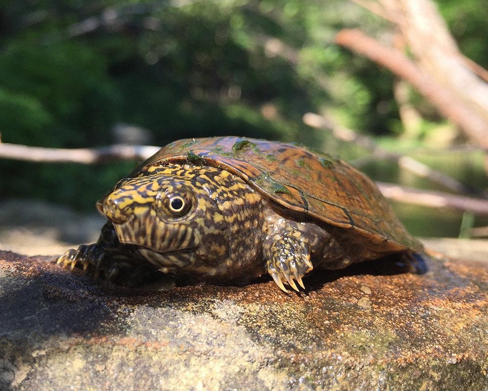 28 Flattened Musk Turtle.jpg