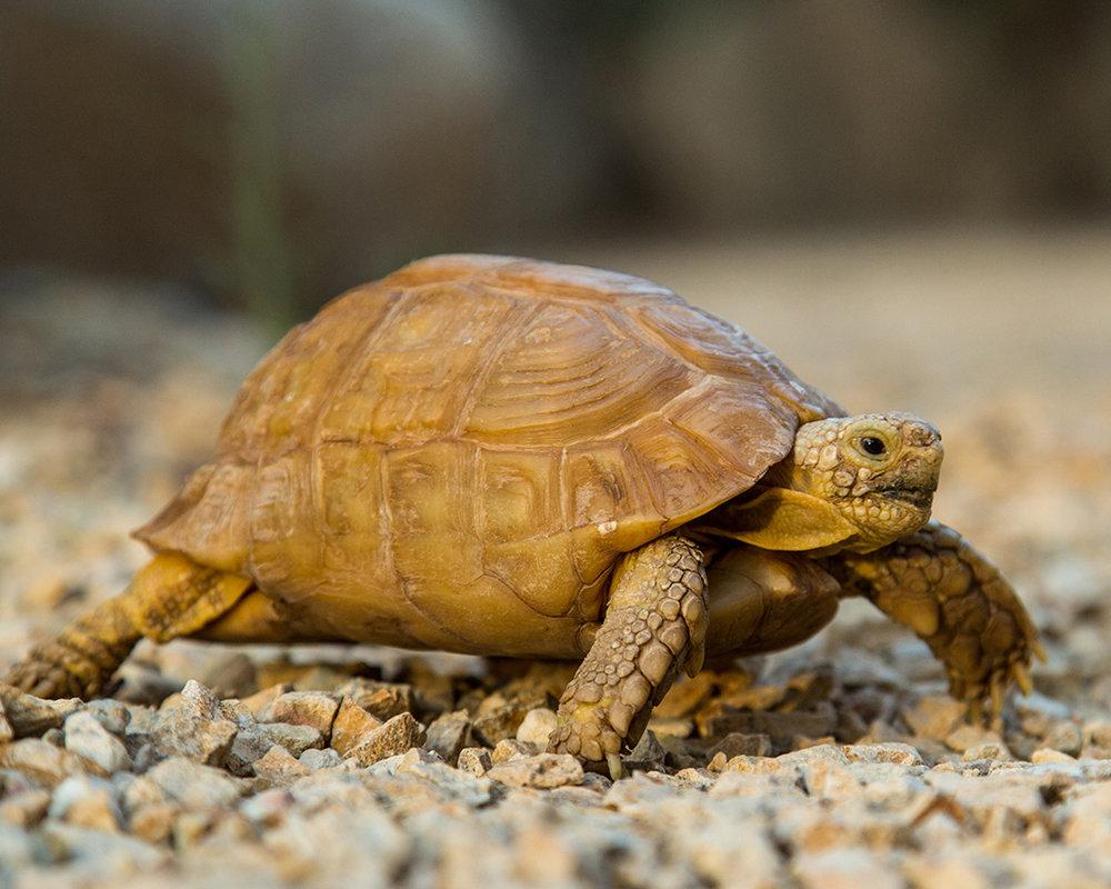 30 Egyptian Tortoise.jpg