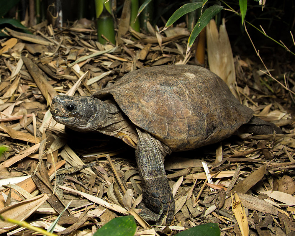 31 Arakan Forest Turtle.jpg