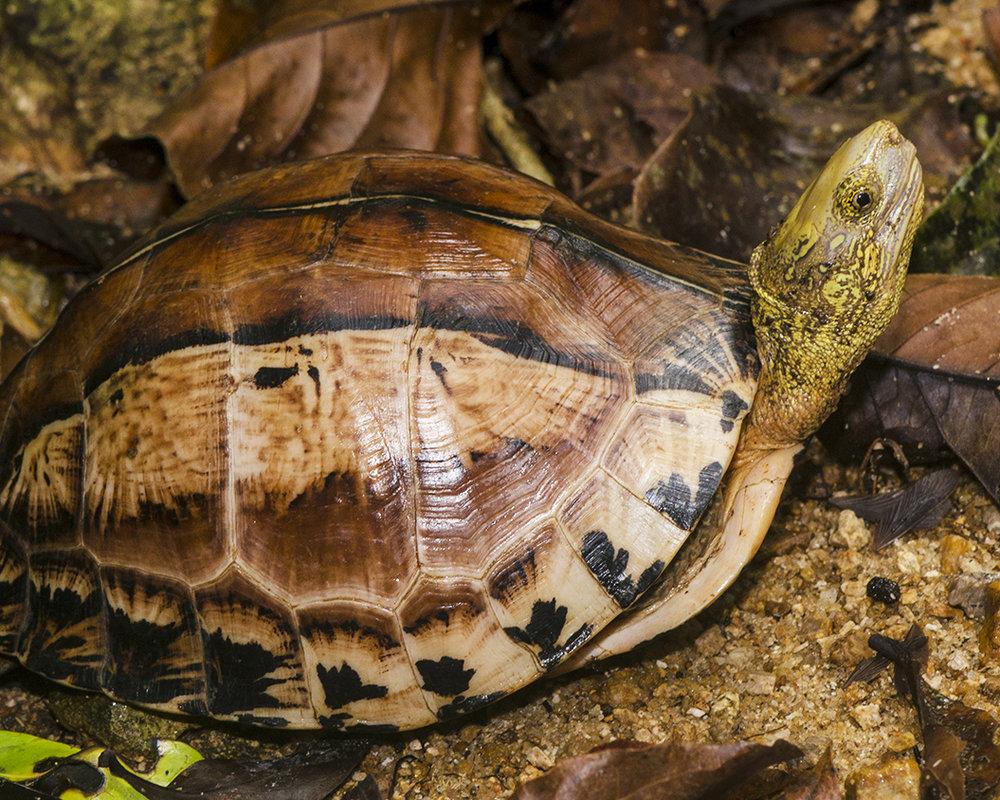 32 Southern Vietnam Box Turtle.jpg
