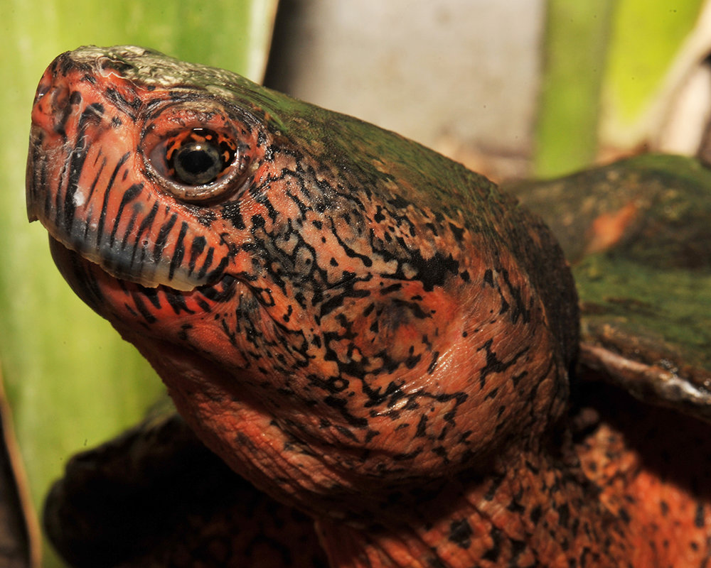 35 Chinese Red-necked Turtle.jpg