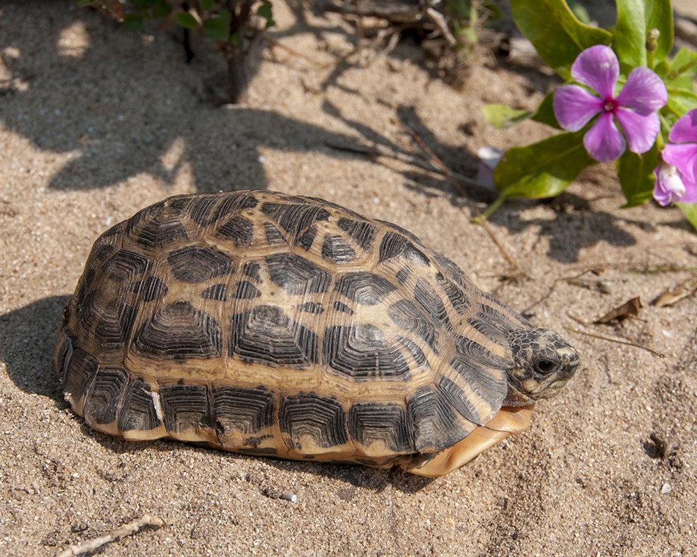 41 Spider Tortoise.jpg