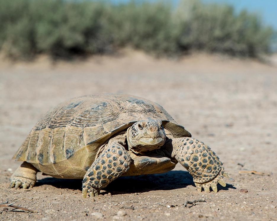 42 Bolson Tortoise.jpg