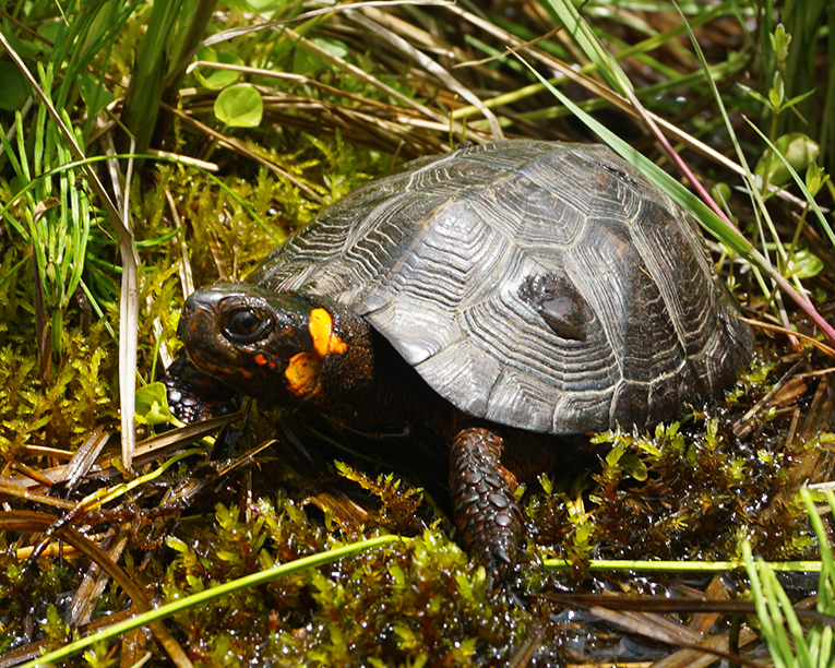 43 Bog Turtle.jpg