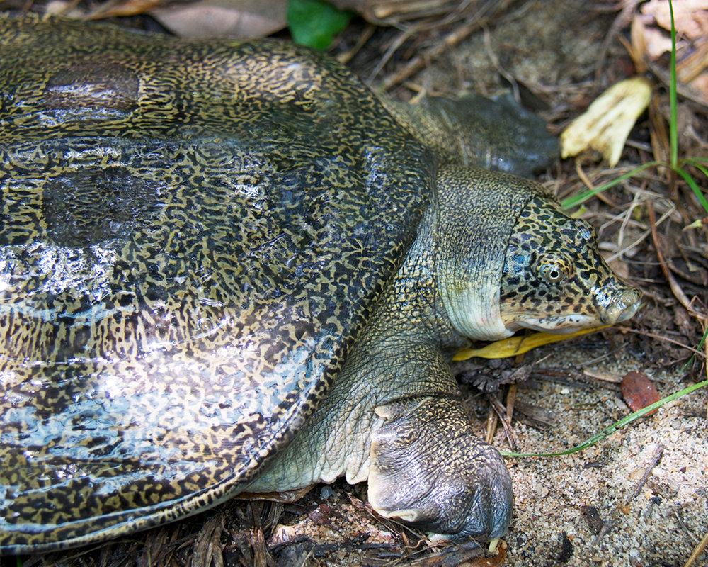 45 Myanmar Peacock Softshell Turtle.jpg
