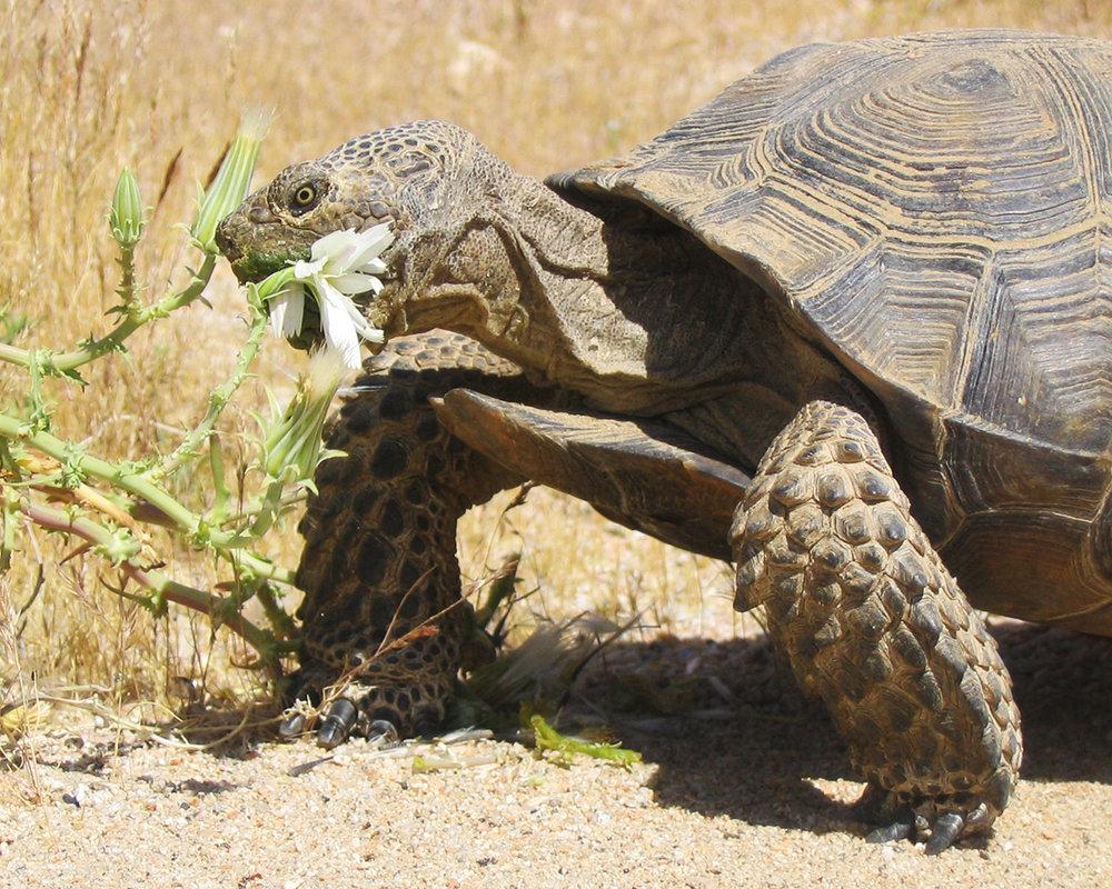 49 Mojave Desert Tortoise.jpg