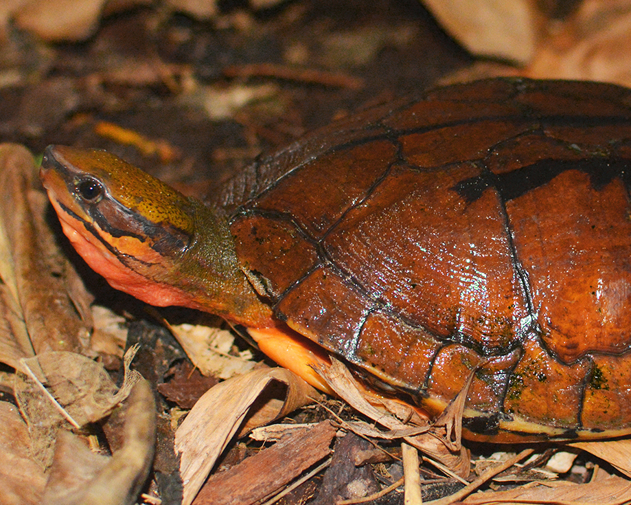 50 Vietnamese Three-striped Box Turtle.jpg