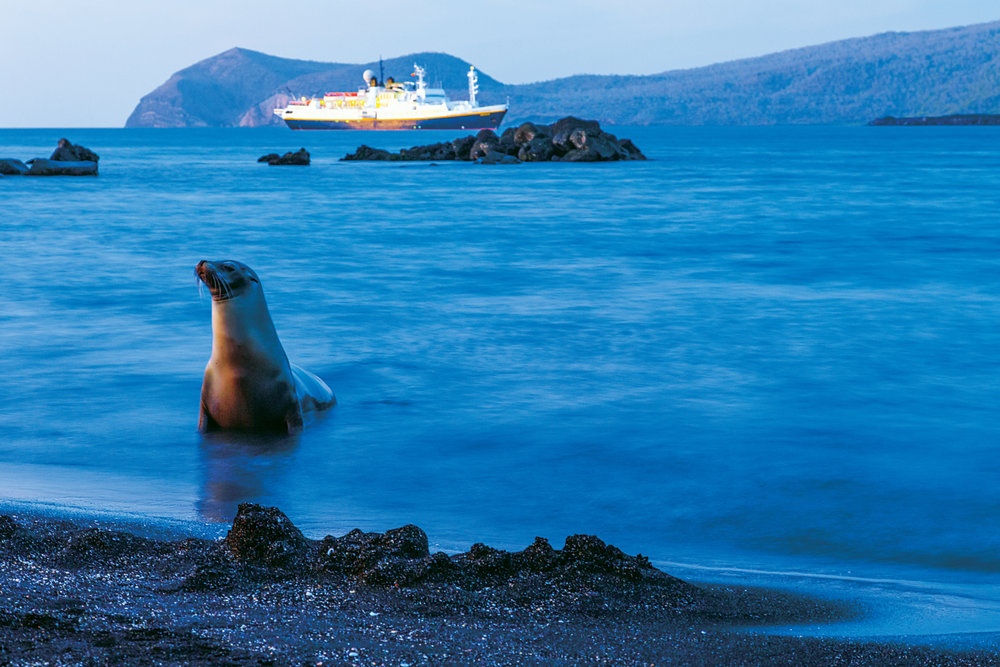 Galapagos Sea Lion (Zalophus wollebaeki), National Geographic Endeavour, Puerto Egas, Santiago Island, Galapagos Islands National Park, Ecuador
