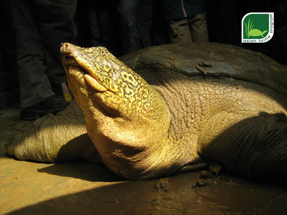 A photograph of the Swinhoe's Softshell Turtle (Rafetus swinhoei) that was rescued following a dam break in Dong Mo Lake, Hanoi, Vietnam in 2008.  Photo by: Timothy McCormack- ATP