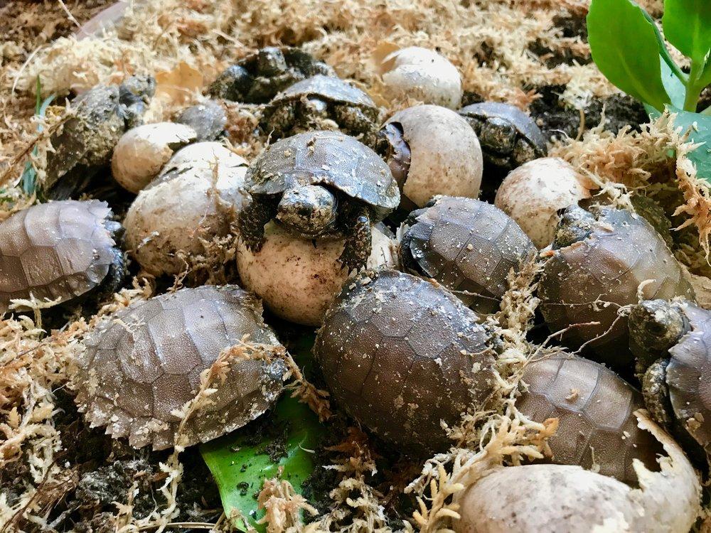 Burmese Black Mountain Tortoise Hatchlings ( Manouria emys phayrei )