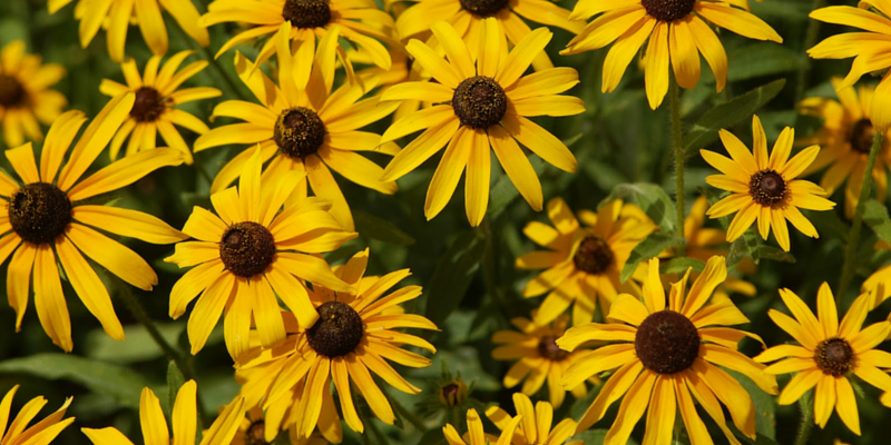 10 of the most stunning nebraska wildflowers send flowers in omaha blackeyed susans can be identified by an abundance of bristly hairs on their stems and their beautiful flowers in shades of yellow orange rust mightylinksfo
