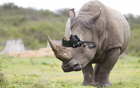 The Zoo's white rhino, Andazi, wears the Zoo View device