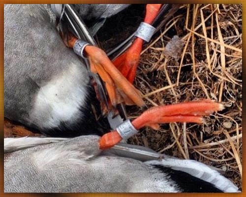 banded-ducks.jpg