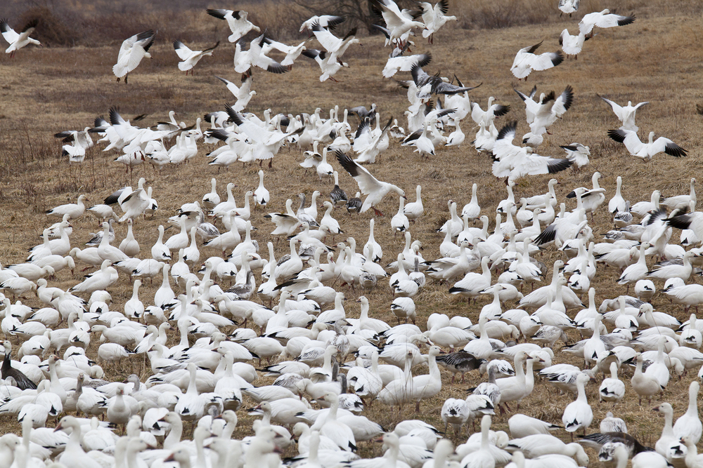 stock-photo-19597900-snow-geese-take-flight.jpg