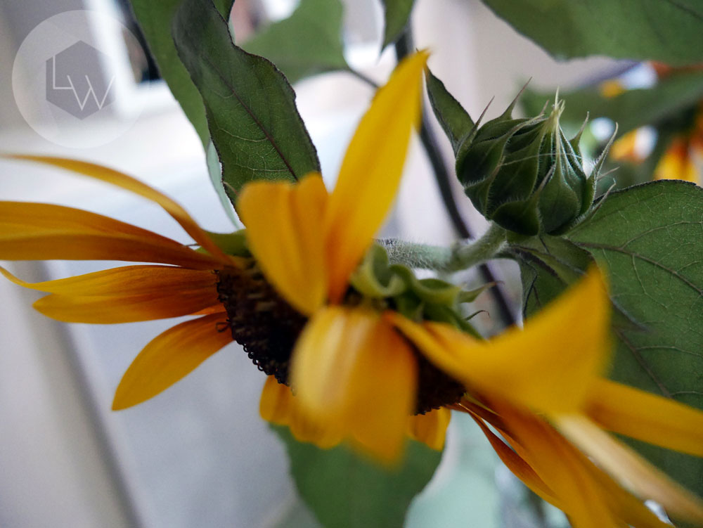 Organic sunflower via Lila Wolff