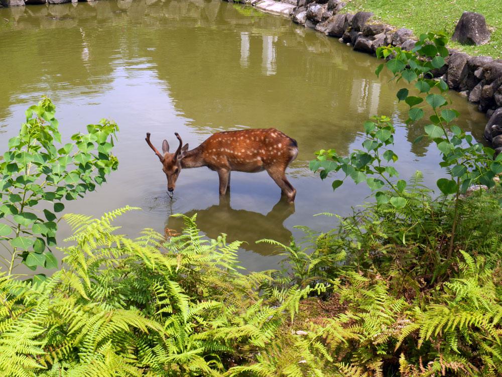 nara-deer-water.jpg