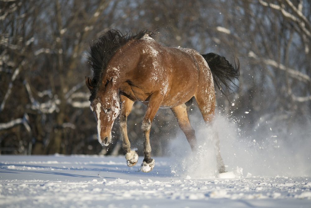 Finny, an Arabian gelding celebrates the first snow just west of Madison, Wisconsin. A string of warm fall days kept snow at bay until after Christmas.