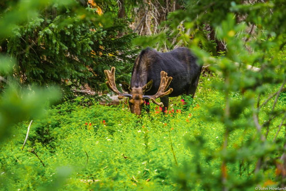 moose3 (1 of 1).jpg