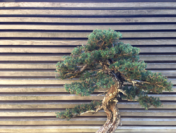 Bonsai | The Huntington Library / Brourbon and Goose Town Talk