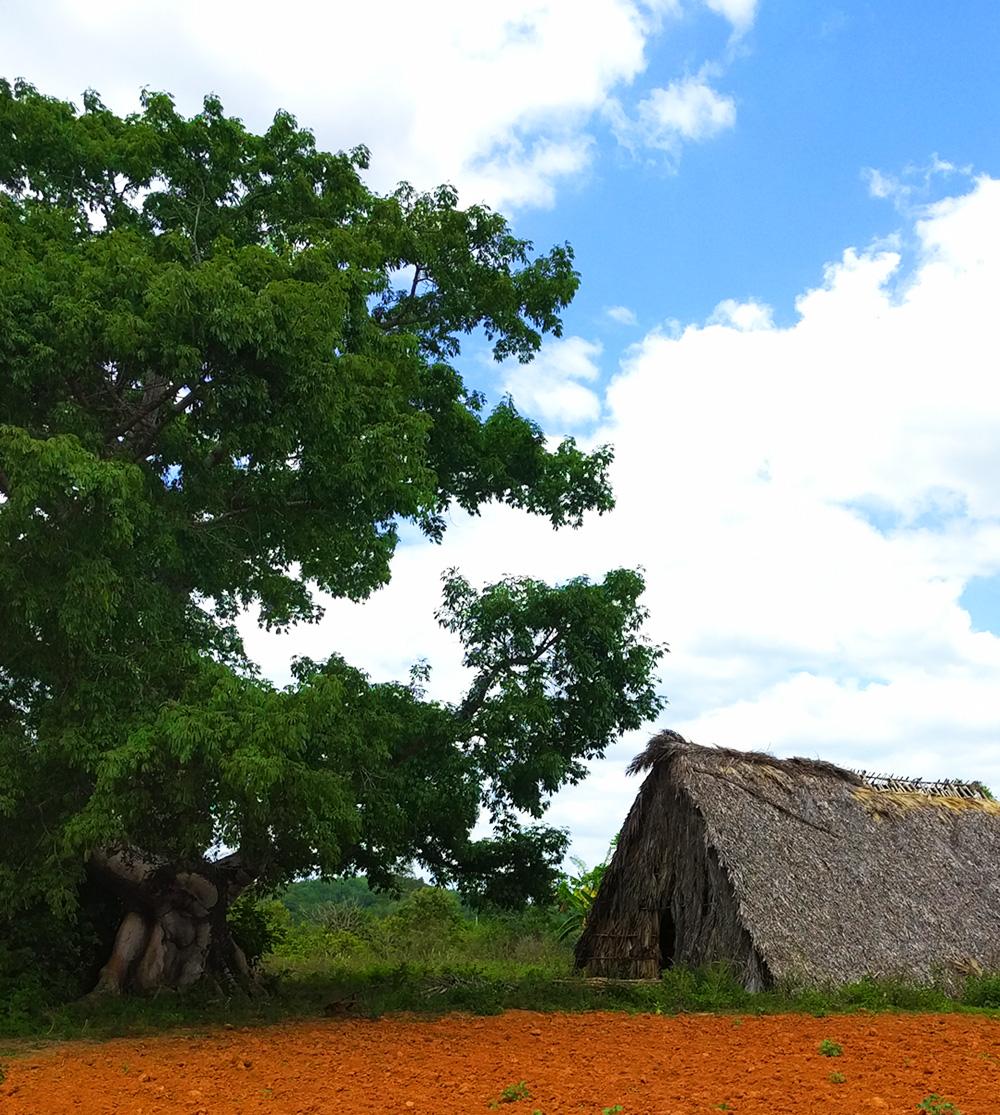 TravelCuba_Viñales_TreevsTabaccoField.jpg