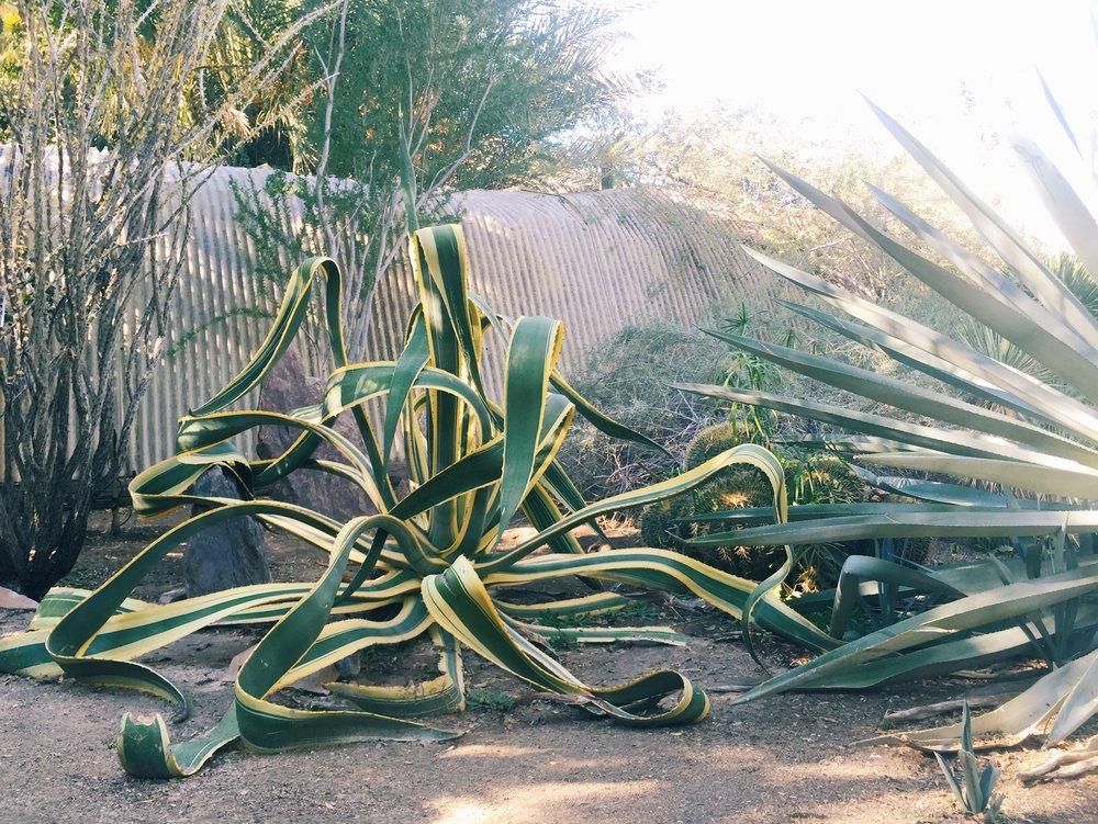 Agave americana striata   /Moorten Botanical Garden, Palm Springs CA