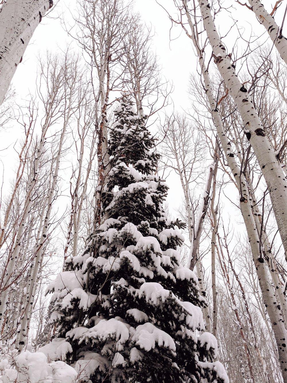 Amongst the Birch trees a giant pine tree   taken on Google Pixel 3  Park City, Utah #TeamPixel