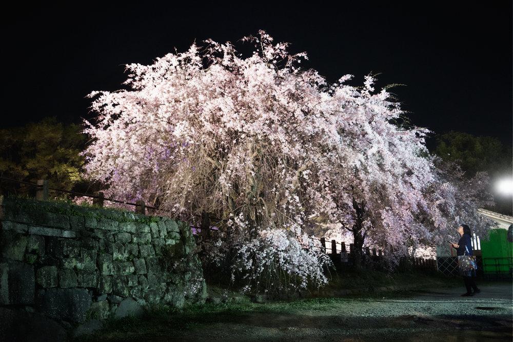 LiehSugai_Hanami_21.jpg