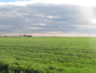 A typical view of winter wheat