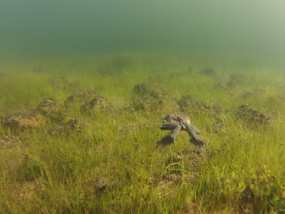 A giant water frog tries to escape in the cold waters of Lago Titicaca.