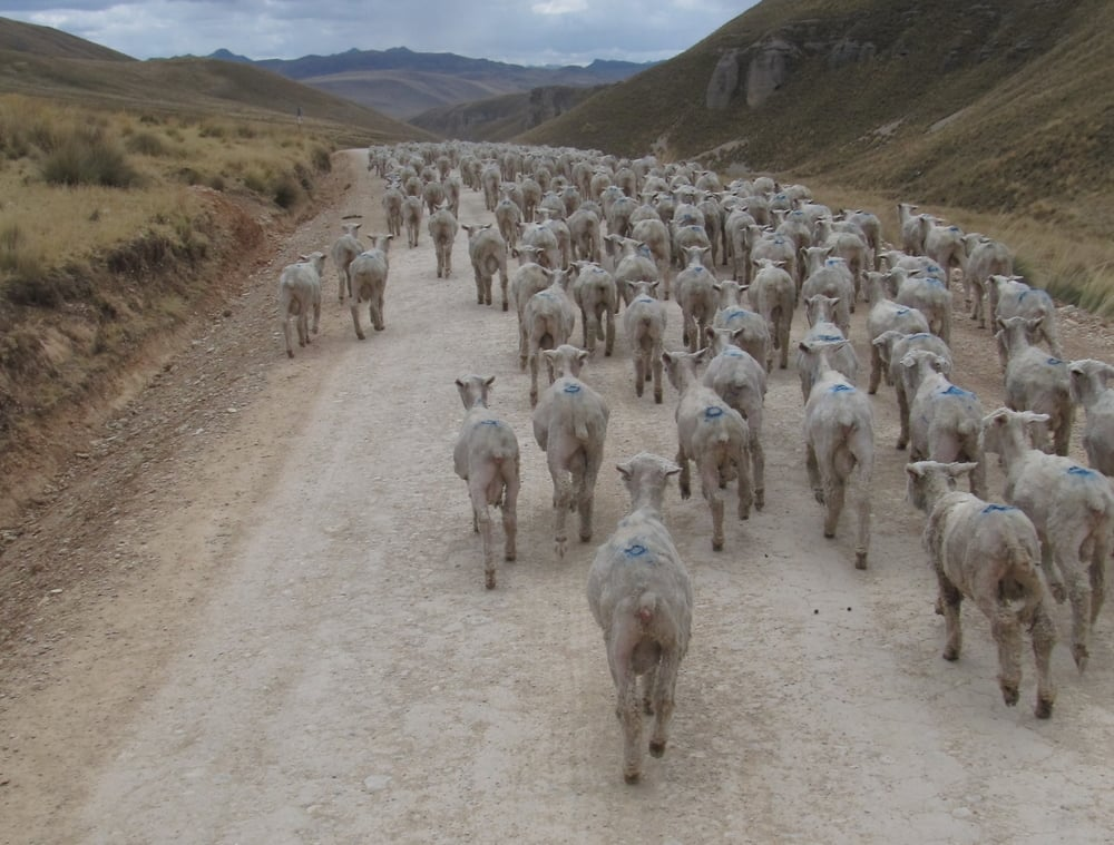 Sheep use the roads more than cars, which is fine by us.