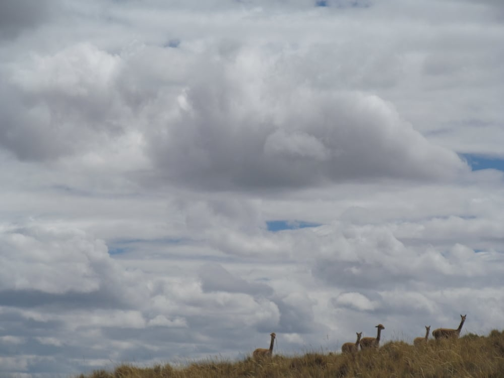 Vicuñas watch us pass.