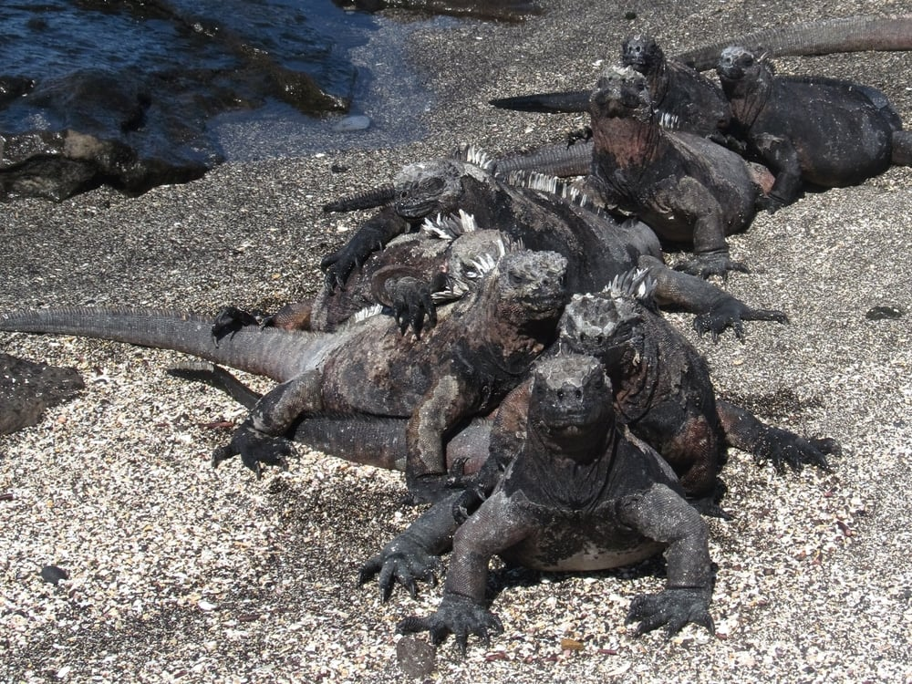 Iguanas bask almost everywhere we look. I couldn't tell if these guys were soakin up the sun or dancing the congo.