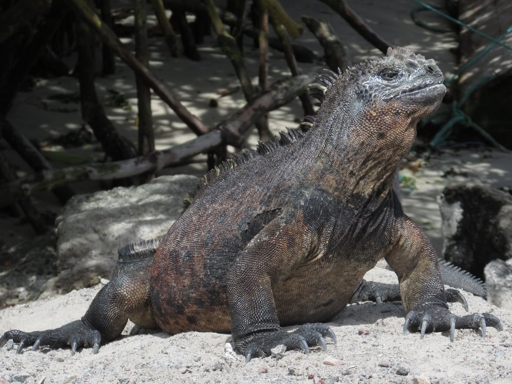 A marine iguana basking in the sun after an icy swim.