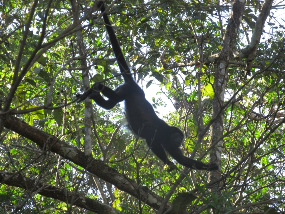 Howler monkeys are seen and heard through much of Costa Rica.