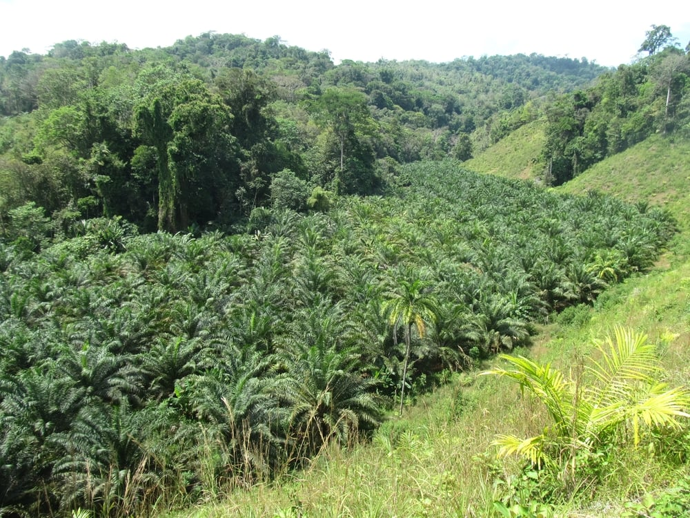 Palm oil farms where rich, diverse jungle once stood.