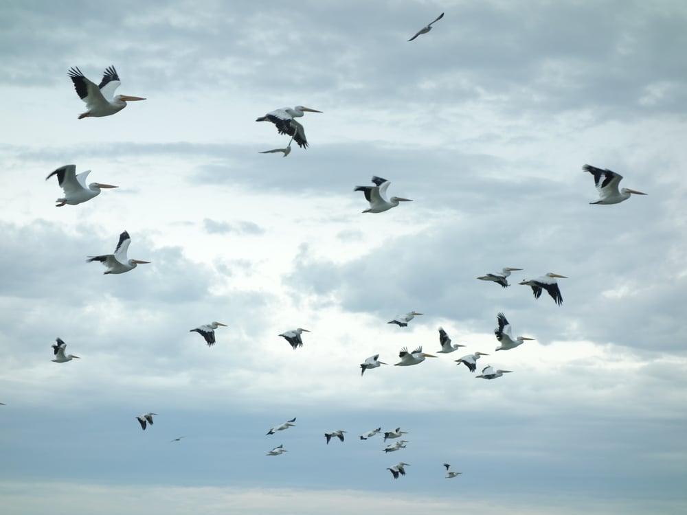 pelicans-001 (2).JPG