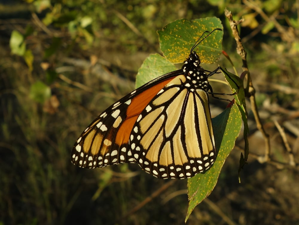 Monarch butterflies are surprisingly easy to spot once you know when and where to look.