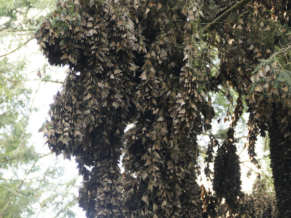 Millions of monarchs cling to the branches of the Oyamel Firs in central Mexico. The populations have seen an 80% decline in the last 15 years.