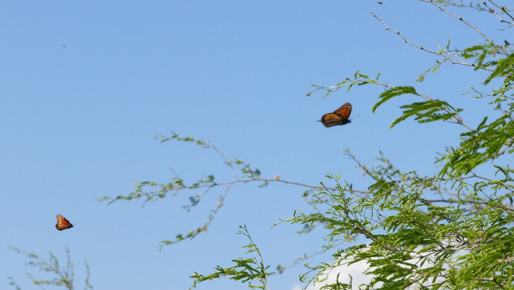 The first monarch (and queen) I photograft on the trip. I was SO excited to see them AND have proof.