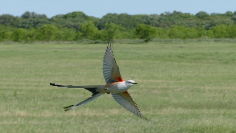 Every time I see a scissor tailed flycatcher I kinda freak out. They are so dang beautiful.