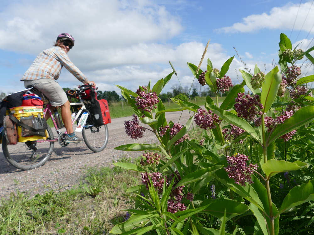 At least milkweed is beautiful and, riding by them, you can't ignore the color, all the pollinators they attract, or the strong, flowery smell.