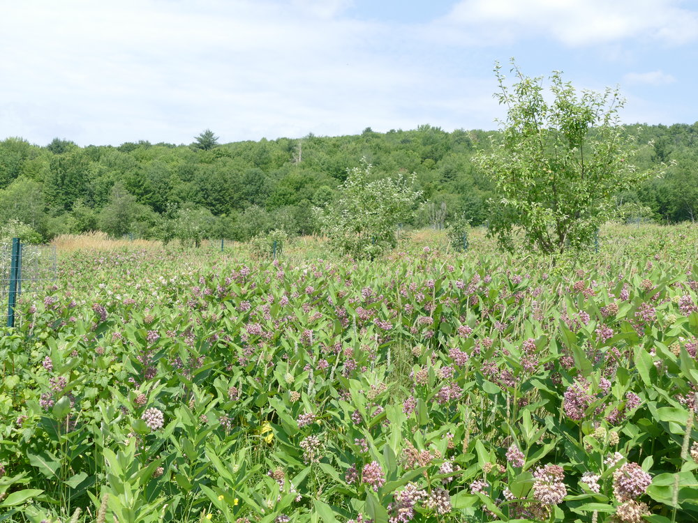 Never have I seen as much milkweed as I saw at the Farm Between. Can you spot the fruit trees?