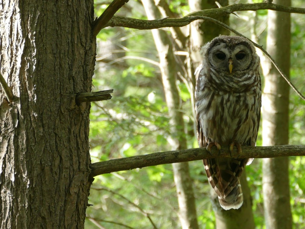 This Barred Owl welcomed me to CT, the last state in the USA I had yet to visit.