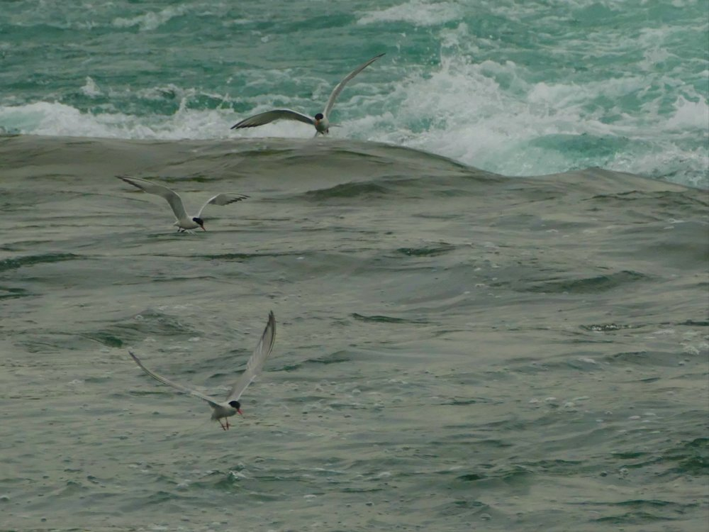 The terns were saving the fish from taking a ride down the falls...or that is at least one way to look at it!