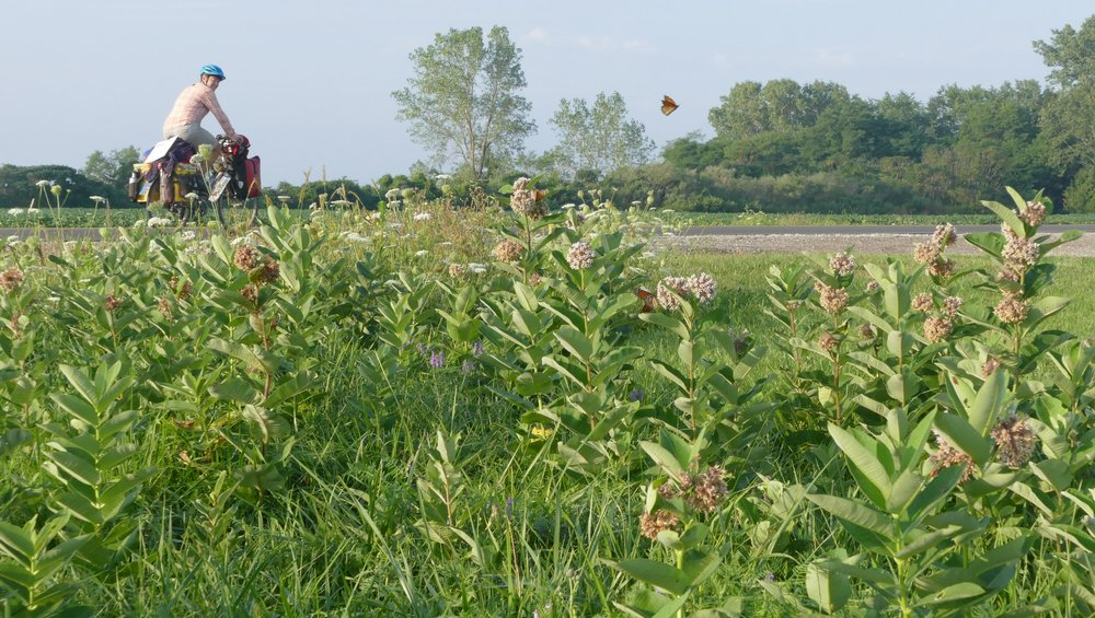 Dykman bikes by milkweed plants and nectaring monarch butterflies. Roadside habitat is some of the last remaining space for monarchs and Dykman encourages folks not to mow until after the monarchs have left on their migration.