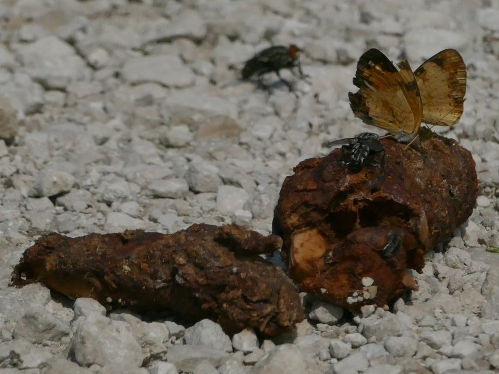 Butterflies feasting on poo, now THAT is a better way to end a blog...